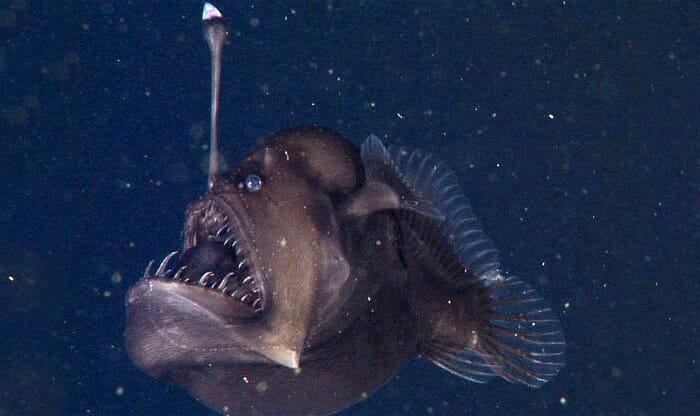 black-sea-devil