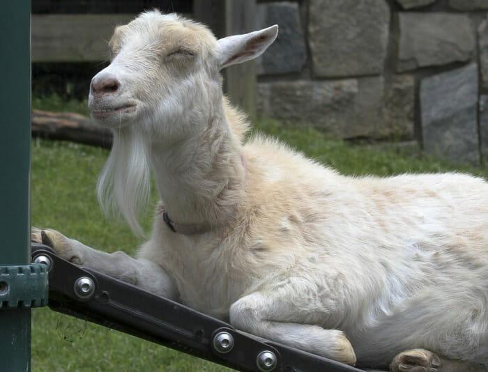 cabras-ganharam-nossos-coracoes-2014