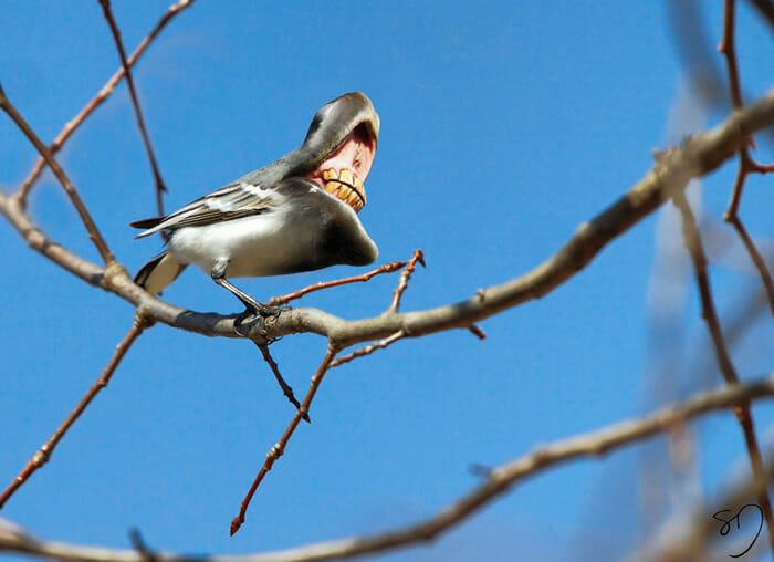 big-mouth-birds_12
