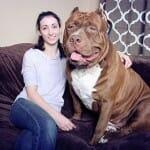 Conheça o Hulk, o maior e mais pesado Pitbull que existe no mundo