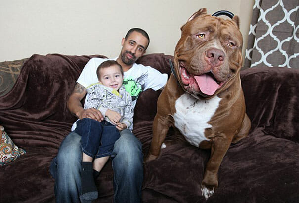 hulk-maior-pitbull-do-mundo_14