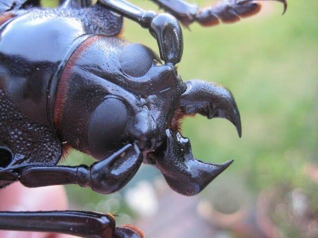 maiores-mais-assustadores-insetos_1b