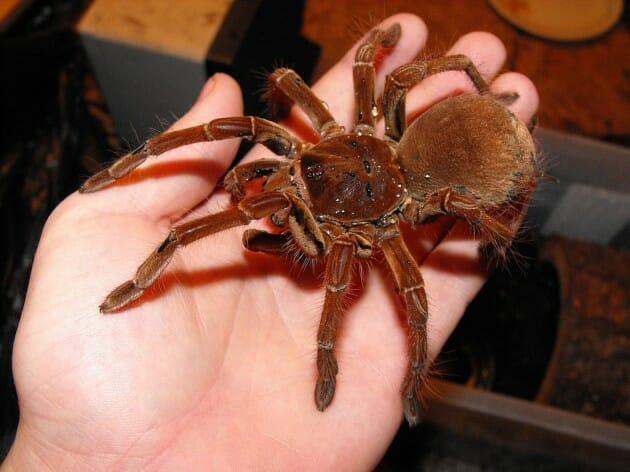 maiores-mais-assustadores-insetos_3b