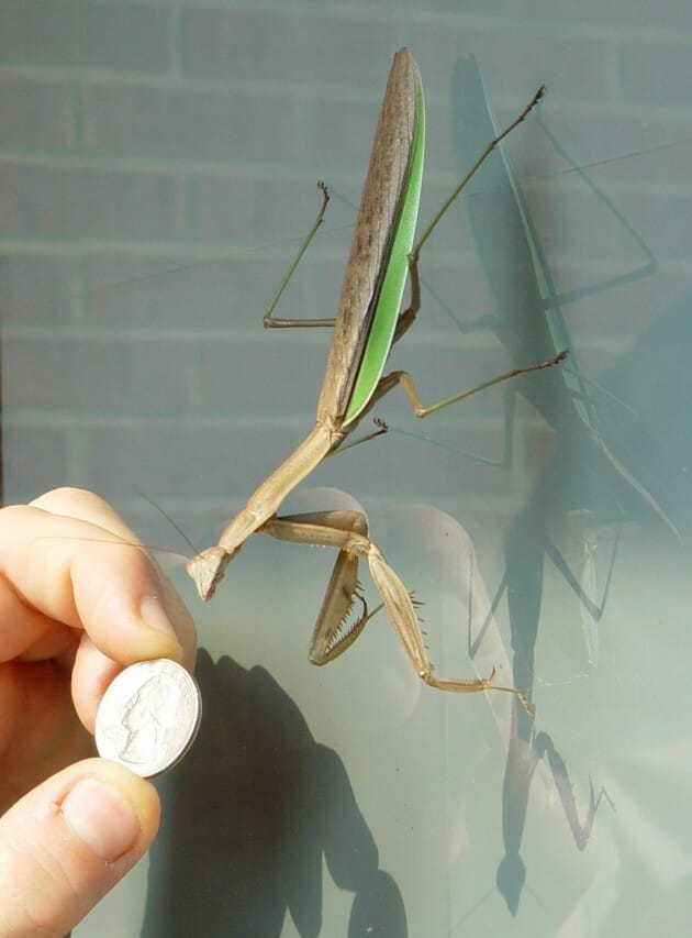maiores-mais-assustadores-insetos_5b