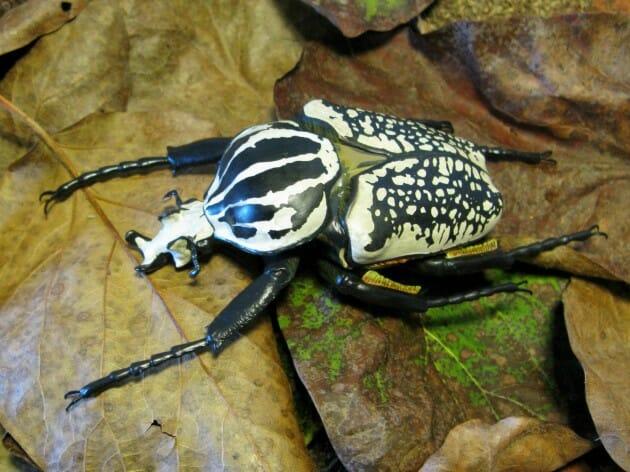 maiores-mais-assustadores-insetos_8