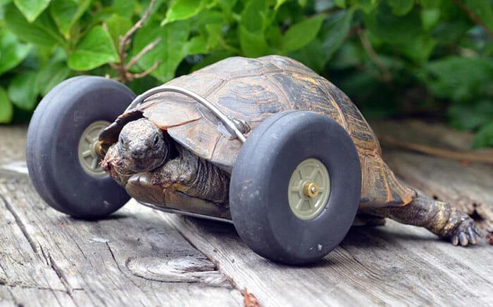 sra-t-tartaruga-com-rodas_1