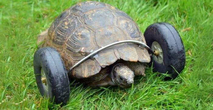 sra-t-tartaruga-com-rodas_2