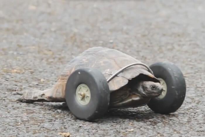 sra-t-tartaruga-com-rodas_3