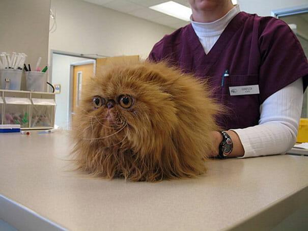 gatos-que-odeiam-veterinario_10