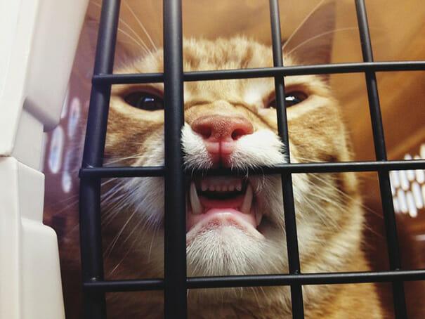 gatos-que-odeiam-veterinario_17