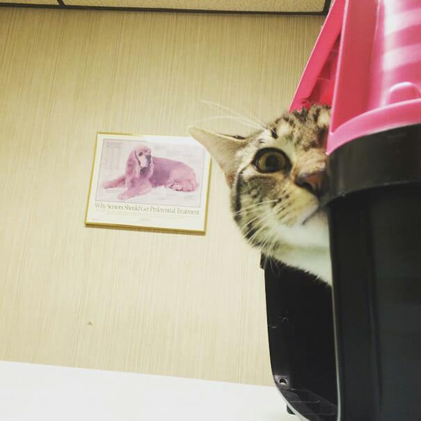 gatos-que-odeiam-veterinario_19