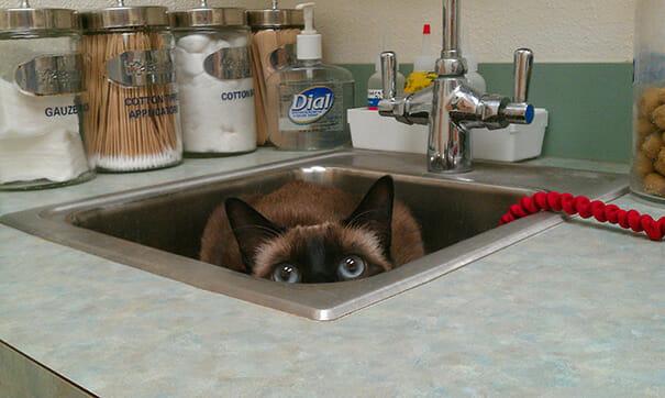 gatos-que-odeiam-veterinario_8
