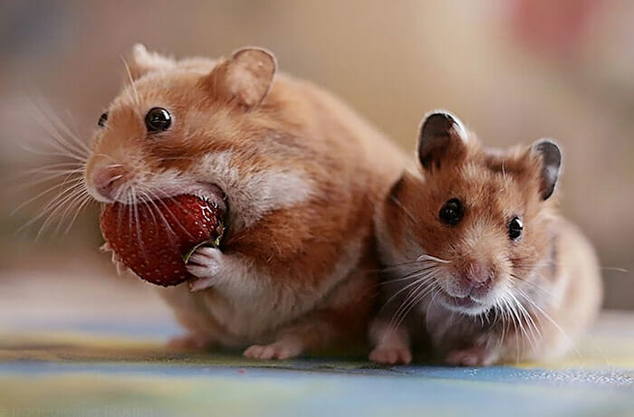 hamsters-fofos_15