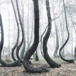 Conheça uma misteriosa floresta na Polônia onde as árvores têm troncos curvos
