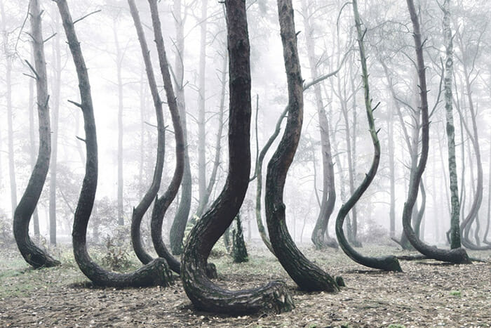 crooked-forest_1