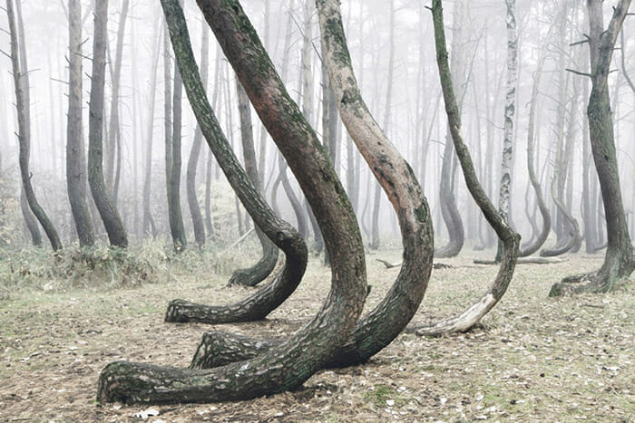 crooked-forest_2
