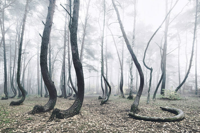 crooked-forest_3