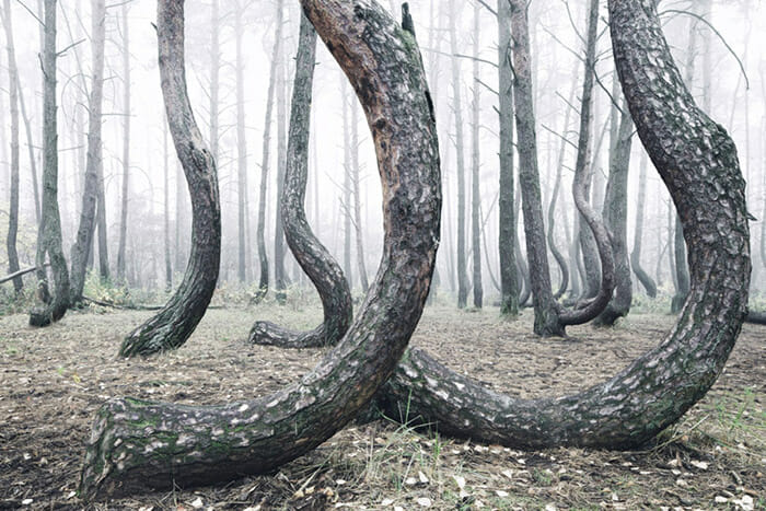 crooked-forest_4