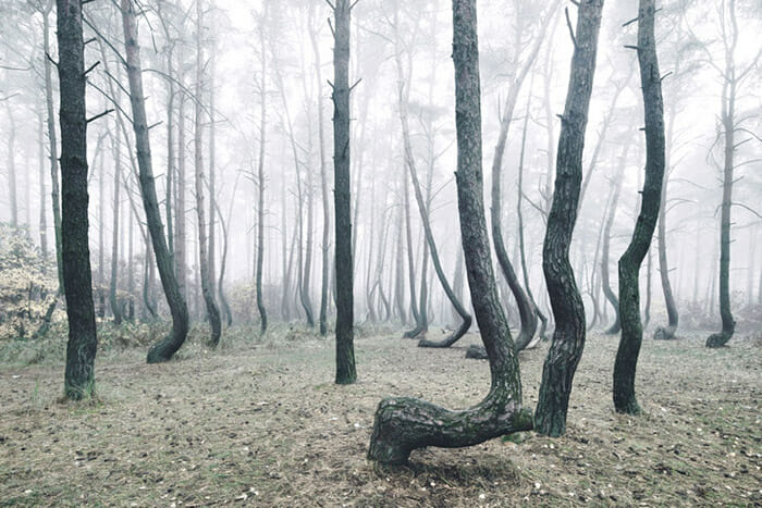 crooked-forest_5