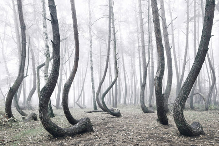crooked-forest_6