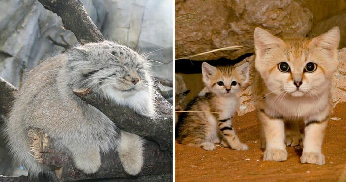 felinos-raros