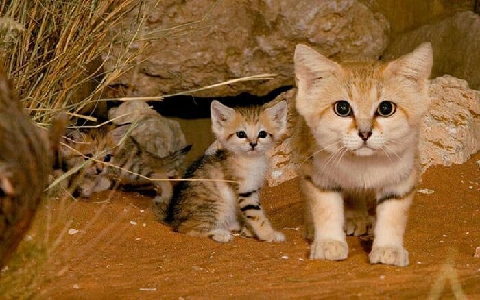 felinos-raros_1