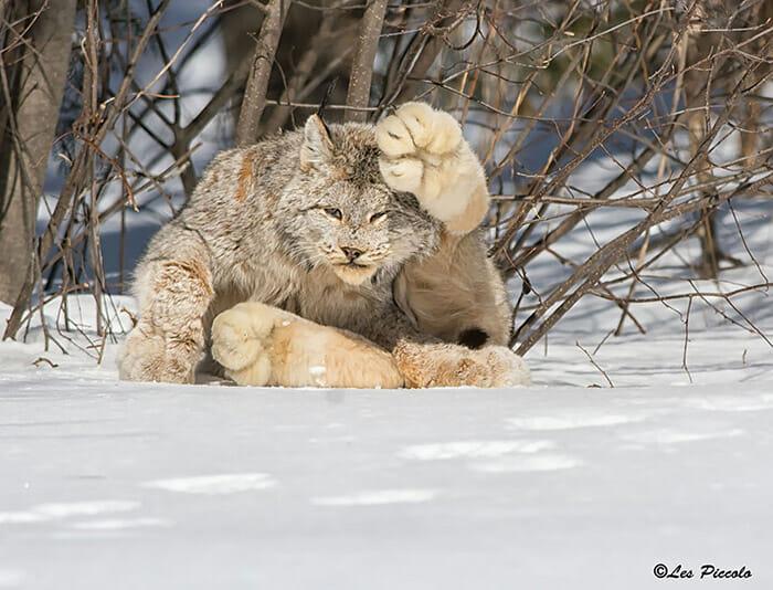 felinos-raros_2