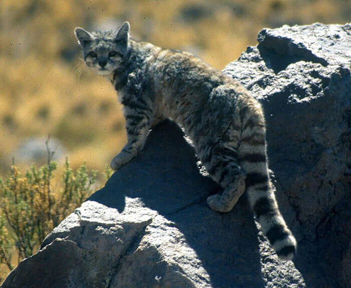 felinos-raros_20
