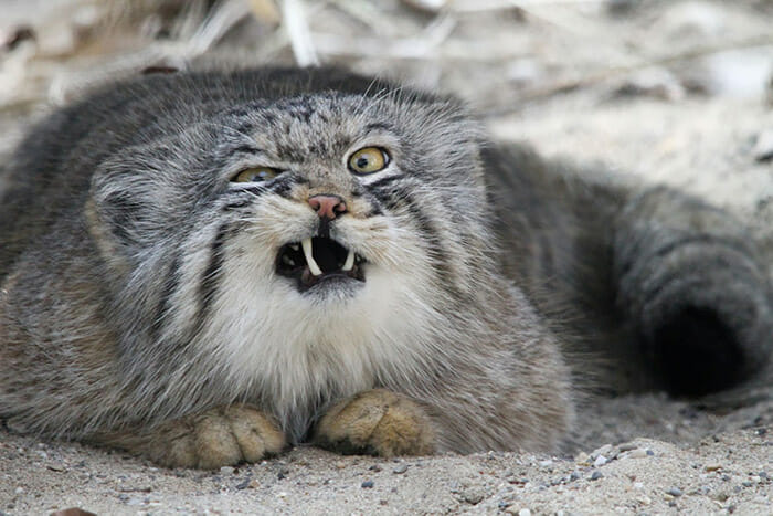 felinos-raros_3b