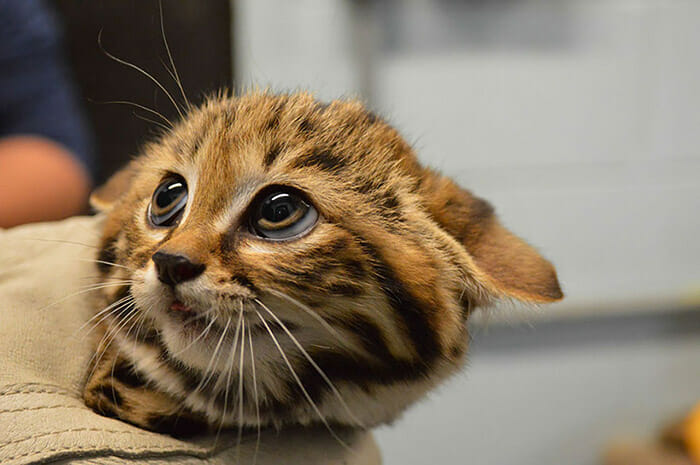 felinos-raros_4