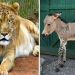 Não é Photoshop! Conheça 18 animais híbridos REAIS extremamente raros