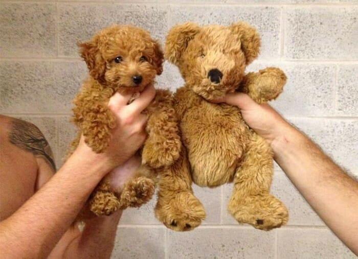 cachorros-que-ce-parecem_14