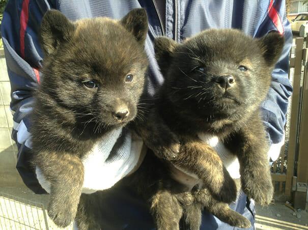 cachorro-urso_11