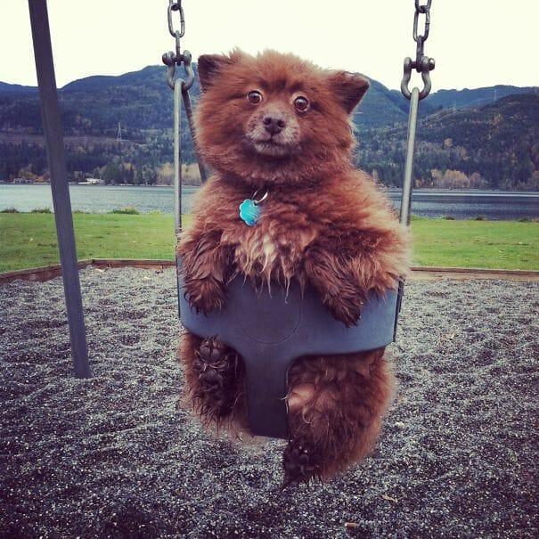 cachorros-ursos-teddy_13