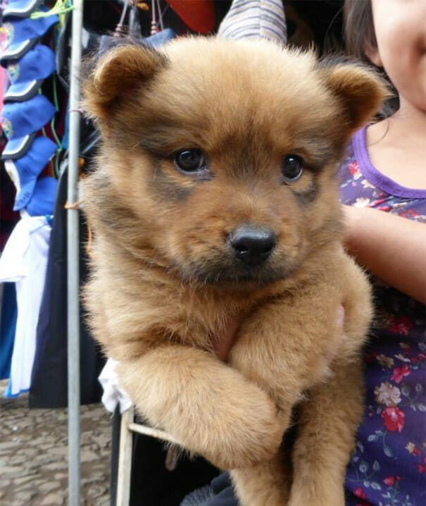 cachorro-urso_14
