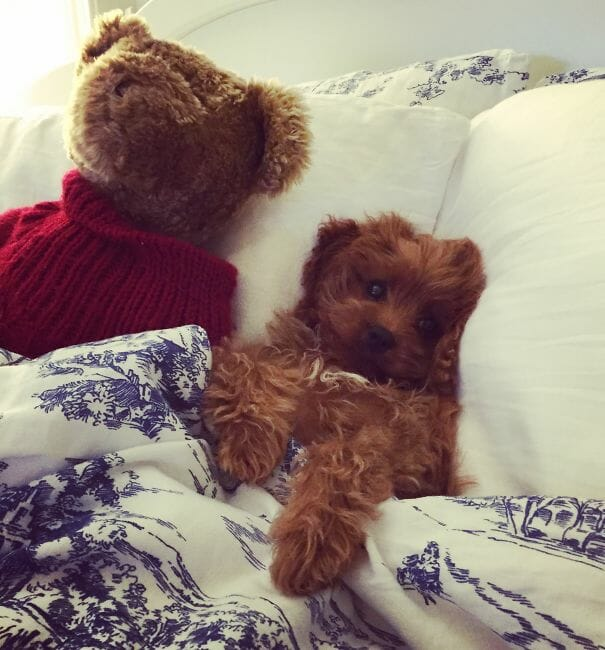 cachorro-urso_15