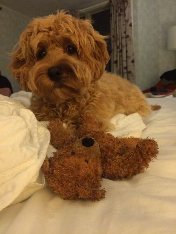 cachorro-urso_17