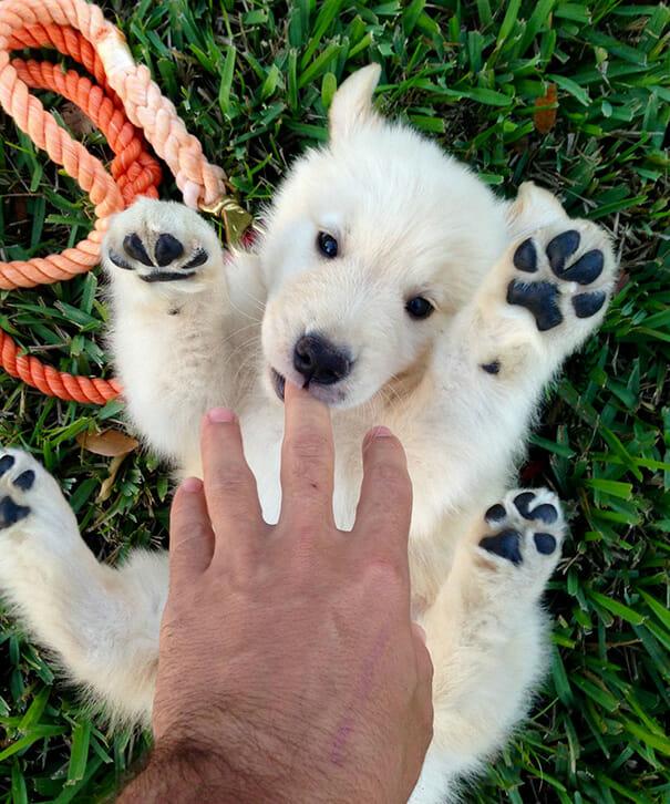 cachorro-urso_18
