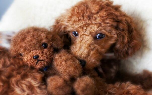 cachorros-ursos-teddy_19