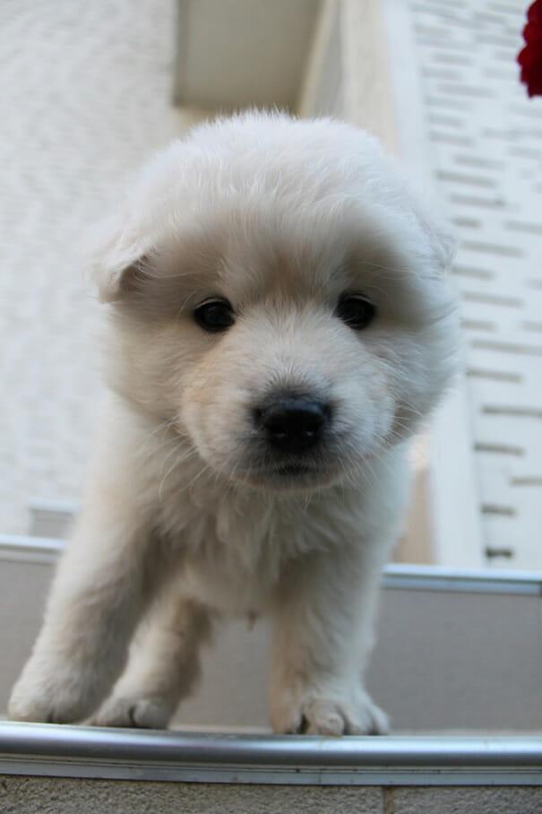 cachorros-ursos-teddy_20