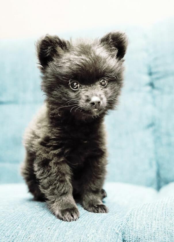 cachorro-urso_5
