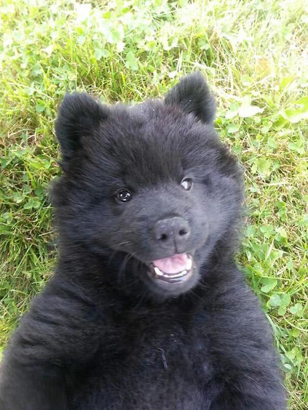 cachorros-ursos-teddy_6