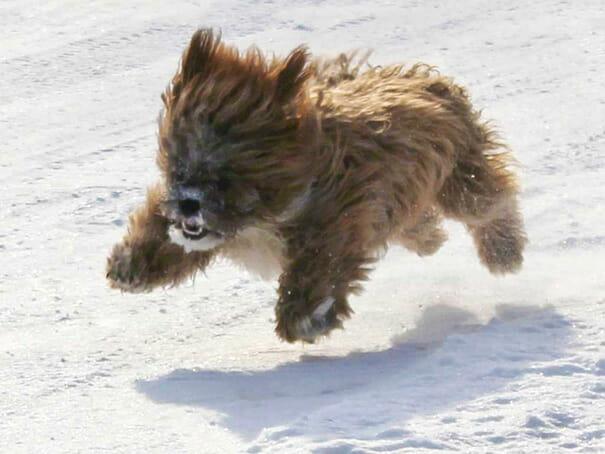 cachorro-urso_7