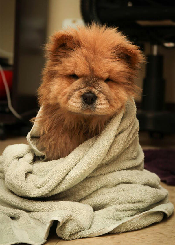 cachorro-urso_9