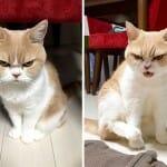 Brava é pouco! Conheça a gata japonesa que é mais mal humorada do que a Grumpy Cat