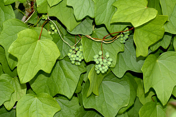 plantas-venosas_5