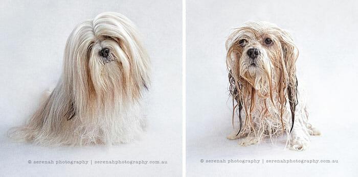 animais-antes-depois-do-banho_10