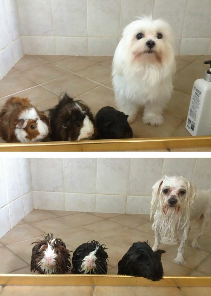 animais-antes-depois-do-banho_33