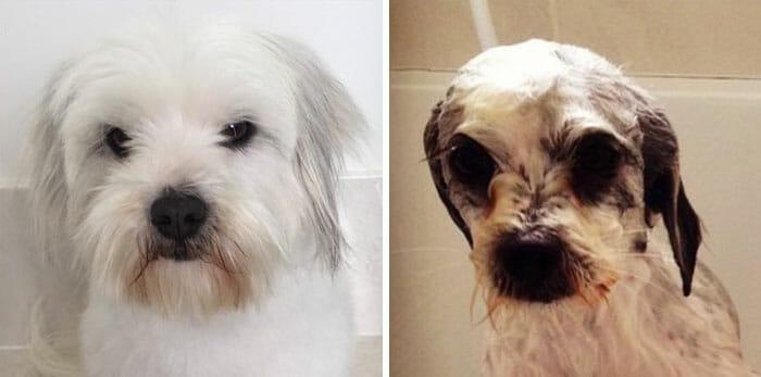 animais-antes-depois-do-banho_4
