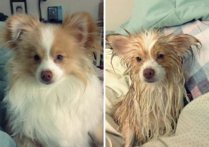 animais-antes-depois-do-banho_5